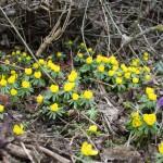 Stinze planten in het voorjaar